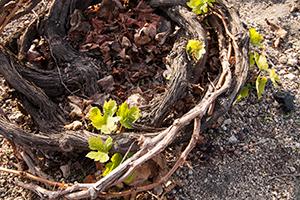 Winemaking Santorini